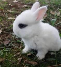 Vendo mini coelhinhos
