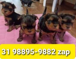 Título do anúncio: Filhotes Cães Pet BH Yorkshire Poodle Maltês Lhasa Basset Shihtzu Pug
