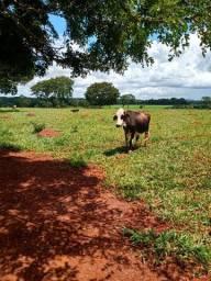 5 vaca e uma novilha leiteira