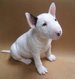 Bull Terrier disponíveis com pedigree e garantias!
