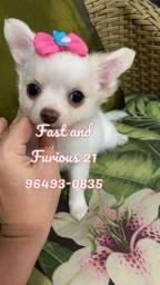 Chihuahua fêmea branca Pêlo longo. Fast and Furious!!