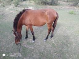 Égua potra
