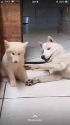Título do anúncio: Filhote de husky Siberiano