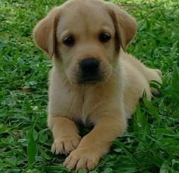 Filhotes Machos Labrador Recibo Pedigree Garantia
