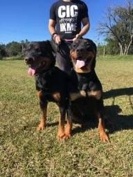 63114c54ac Cachorros - Região de Joaçaba, Santa Catarina | OLX
