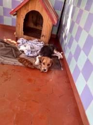 Beagle macho 6 meses