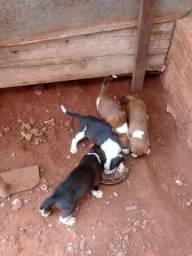 Vede se filhote de cachorro americano com box pais mestre no javali