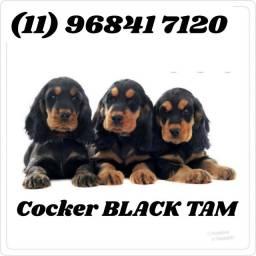 Filhotes de Cocker Machos Black Tam a pronta entrega...