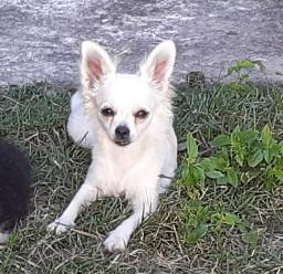Chihuahua Fêmea - Pelo Longo