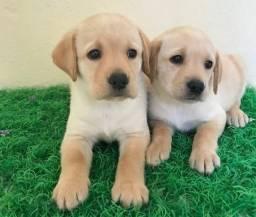 Filhotes Labrador Recibo Garantia de saúde Pedigree