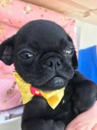 Filhote Pug Black