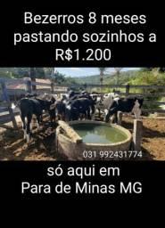 Seis bezerros a 1200 e 5 vacas a 4399 por cabeça