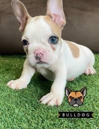 Bulldog francês macho Blue Fawn Pied