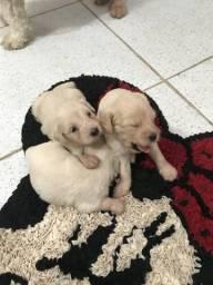 Poodle com Maltês