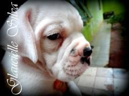 Lindos filhotes de Boxer Brancos