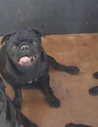 Pug (No cio)