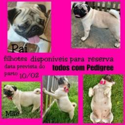 Pug com pedigree ariquemes