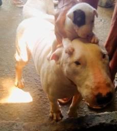Filhotes de Bull terrier inglês macho