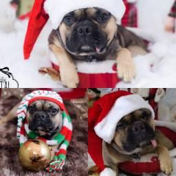 Bulldog francês sêmen