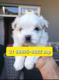 Título do anúncio: Cães Pet Filhotes BH Maltês Lhasa Basset Yorkshire Shihtzu Beagle