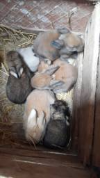 Título do anúncio: Vendo filhotes de coelho holandês anão com 1 meses de idade
