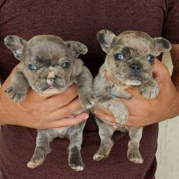 Bulldog Francês Blue Merle