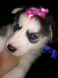 Husky Siberiano ChowChow