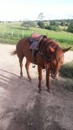 Cavalo meio sangue ,primeira muda