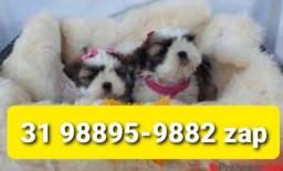 Título do anúncio: Canil Filhotes Cães Perfeitos BH Shihtzu Poodle Lhasa Yorkshire Basset Maltês Pug