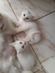Vendo lindas gatinhas com apenas 1 mês e 15 dias são raciadas de angorá