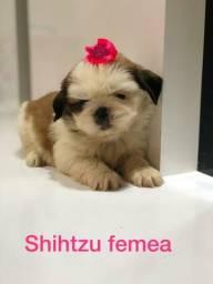 Linda filhote de Shih Tzu Fêmea!!