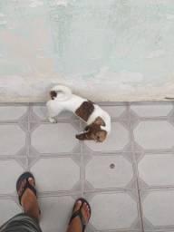 Filhote de cachorro raça pinscher