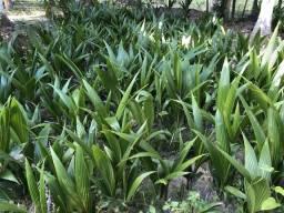 Vende- se 1000 mudas de coco anão legítimo