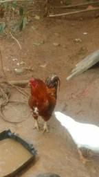 Vendo galo mestiço índio,casal de patos e galinha da Angola