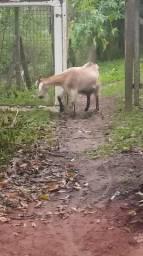 Cabra e bode