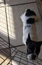 Bulldog francês femea os pais tem pedegree cbkc