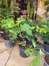 Planta frutíferas já produzindo no vaso