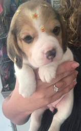 Beagle - mais de 20 racas disponiveis em nossa loja!!!
