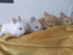 Mini coelhos (filhotes)