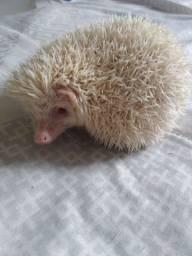 Pigmeu