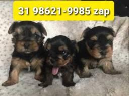 Título do anúncio: Cães Filhotes Pet BH Yorkshire Beagle Lhasa Maltês Shihtzu Poodle