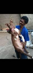 Filhote de pitbull ( APENAS FÊMEAS DISPONÍVEL )