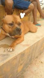 Vende-se Pitty bull american-bullyn