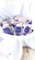 Filhotes de Pug!