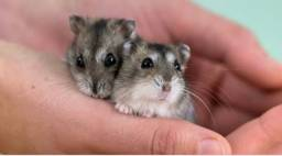 Título do anúncio: Hamster chinês
