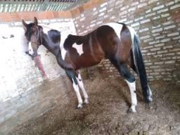 Cavalo Mangalarga Bom todo!