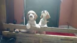 Vende- se filhotes de beagle