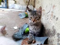 Gatos Angorá Turco