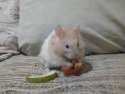 Doação Hamsters sírios