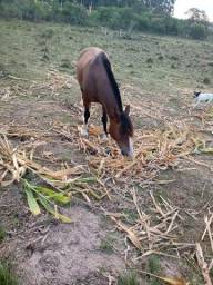Cavalo crioulo manso
